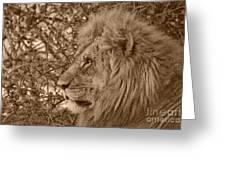 Lion Of Chobe Greeting Card