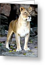 Lioness At Attention Greeting Card