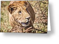 Lioness Hiding Greeting Card