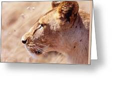Lioness Staring Intently At Passing Greeting Card