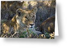 Lioness With Pride In Shade Greeting Card