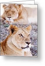Lionesses Lying In Shade In Maasai Mara Greeting Card