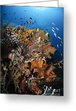 Lionfish, Indonesia Greeting Card