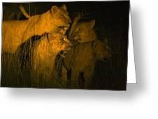 Lions At Night Greeting Card