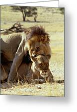 Lions Mating Greeting Card