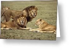 Lions Tanzania Greeting Card