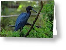 Little Blue Heron Portrait Greeting Card