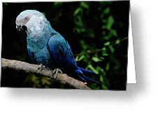 Little Blue Macaw Cyanopsitta Spixii Greeting Card
