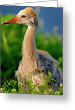 Little Sandhill Cranes Greeting Card