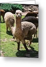 Llama On The Inca Trail Greeting Card