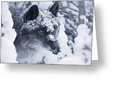 Lone Wolf In Snow Greeting Card