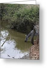 Lone Zebra At The Drinking Hole Greeting Card