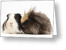 Long-haired Guinea Pigs Greeting Card