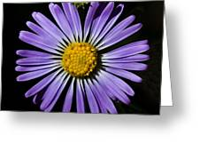 Long Leaved Aster Greeting Card
