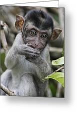 Long-tailed Macaque Macaca Fascicularis Greeting Card