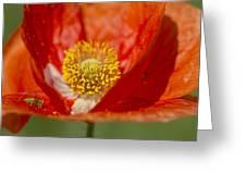 Longhorned Grasshopper Nymph On Orange Poppy Greeting Card
