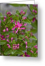 Lonicera Tatarica Greeting Card