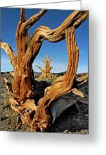 Looking Through A Bristlecone Pine Greeting Card