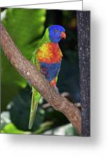 Lorikeet Greeting Card