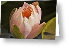 Lotus Opening 2804 Greeting Card