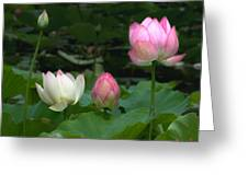 Lotus--stages Of Life II Dl024 Greeting Card