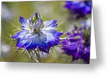 Love In The Mist - Nigella Greeting Card