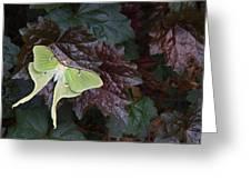 Luna Moth 1 Greeting Card