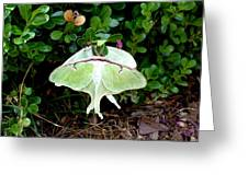 Luna Moths' Afternoon Delight Greeting Card