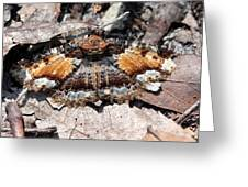 Lunate Zale Moth Greeting Card