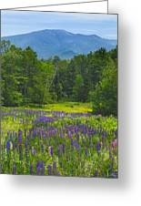 Lupine In Sugar Hill New Hampshire Greeting Card