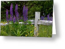 Lupines With Fence Greeting Card
