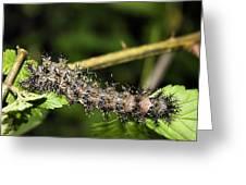 Lymantria Dispar Gypsy Moth Larva Greeting Card
