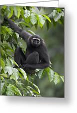 M�llers Bornean Gibbon Hylobates Greeting Card