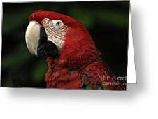 Macaw In Red Greeting Card