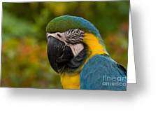 Macaw Parrot Stare Down Greeting Card
