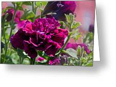 Maco Petunia Flower Double Burgundy Madness Art Prints Greeting Card