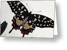 Madagascan Pipevine Swallowtail Butterfly Greeting Card