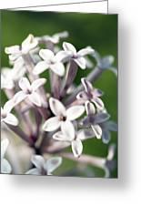 Madagascar Jasmine, Stephanotis Floribund Greeting Card