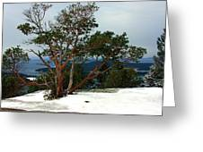 Madrone On Young Hill Greeting Card