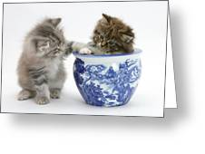 Maine Coon Kittens Greeting Card