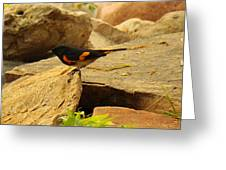Male American Redstart On The Rocks Greeting Card