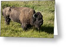 Male Bison Grazing  Greeting Card