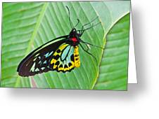 Male Cairns-birdwing Butterfly Greeting Card
