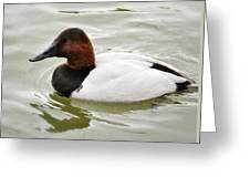 Male Canvasback Duck  Greeting Card