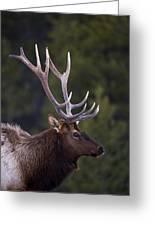 Male Elk Cervus Canadensis Greeting Card