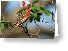 Male Finch Greeting Card