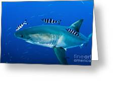 Male Great White Shark And Pilot Fish Greeting Card
