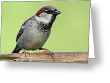 Male House Sparrow Greeting Card