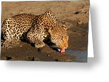 Male Leopard At Sunset Greeting Card