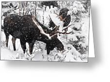 Male Moose Grazing In Snowy Forest Greeting Card